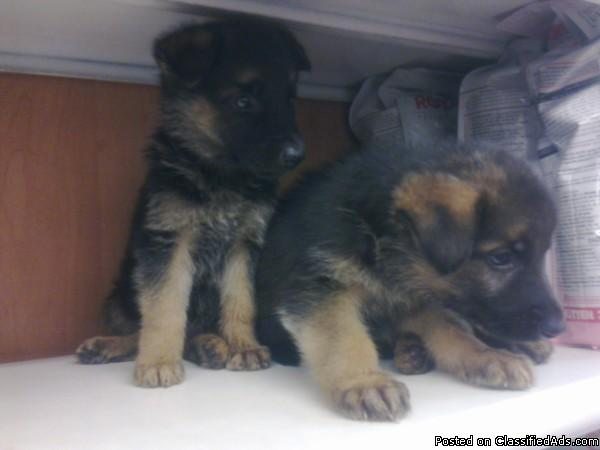 Beautiful German Shepherd Puppies for sale, Black and Sable
