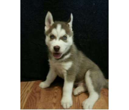 VFZDXN Red and White Siberian Husky Male-Ready NOW