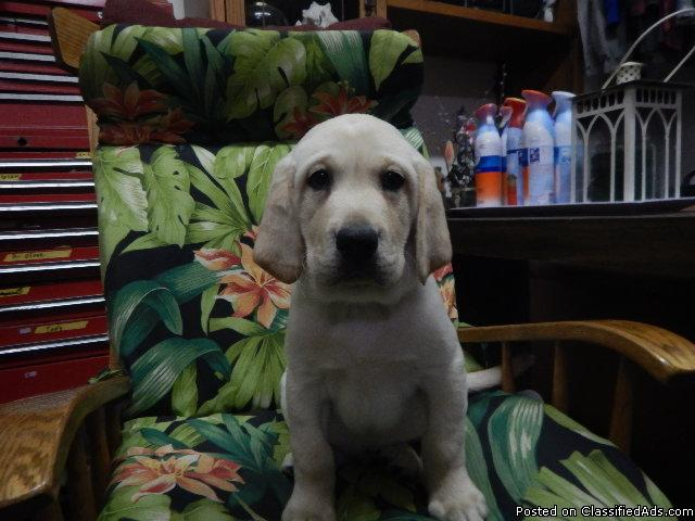 AKC REG Sire Dam with top line [Pedigree of champ/Field one male lab puppy