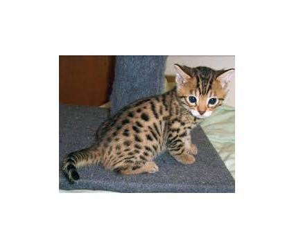 bxgfhfhgfhg Bengal Kittens for sale