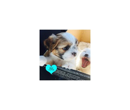 saaj Nice looking Shih Tzu Puppies