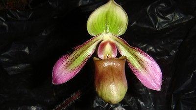 Paphiopedilum hookerae BS orchid species