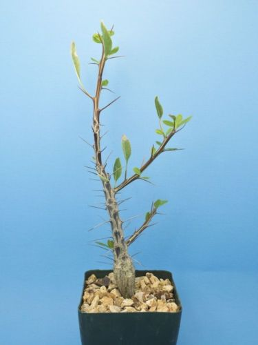 Fouquieria macdougalii [A] caudex Tree Ocotillo succulent Large [Seed Grown] B75