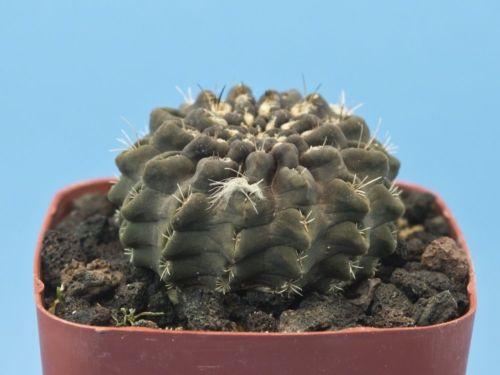Eriosyce occulta [B] cactus Pyrrhocactus [Seed Grown] B75