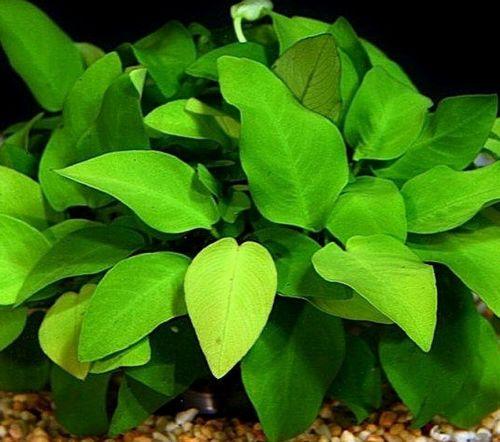100 Assorted Anubias Freshwater Live Aquarium Plants