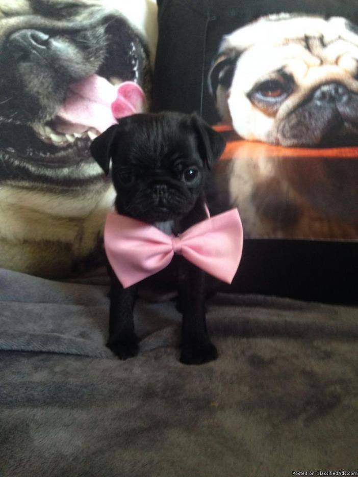Marvelous Black Pug Puppies