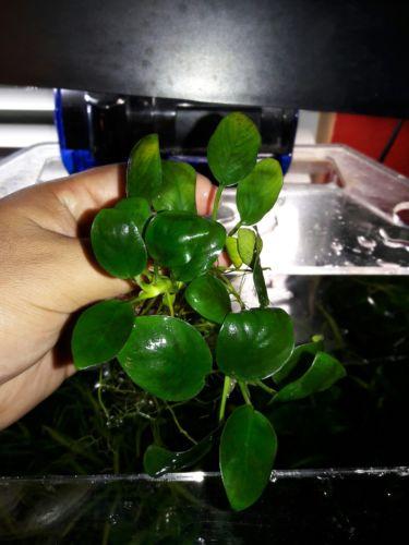 Anubias Nana Rhizome ~Live Aquarium Plants~