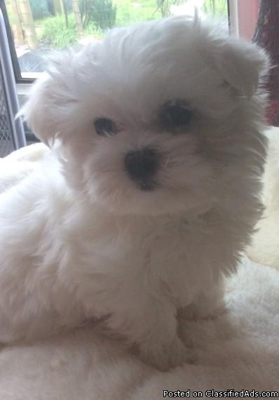 cute and nice loving maltese for nice home