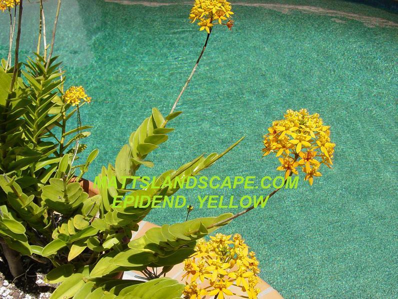 Epidendrum,YELLOW,1Gal,3+IN1,Plant,(S),Orchid Reeds,Blooming,Cactus,Epiphyllum