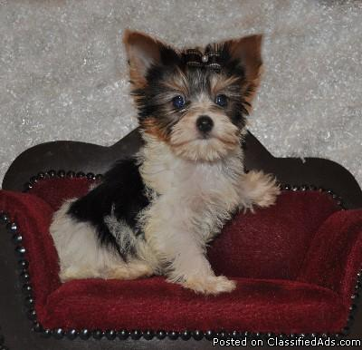 Yorkshier Terrier puppies now ready for their new homes