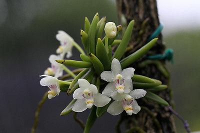 Pteroceras semiteretifolium small orchid species