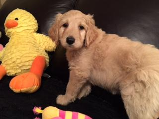 Labradoodle Registered Puppies, F1B Non-shed, Champion lines. Rapid City, sd