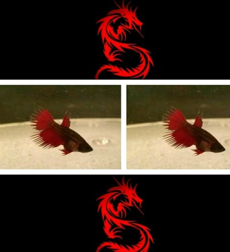 Juvenile male /red fin dragon crowntail born 2-22-17