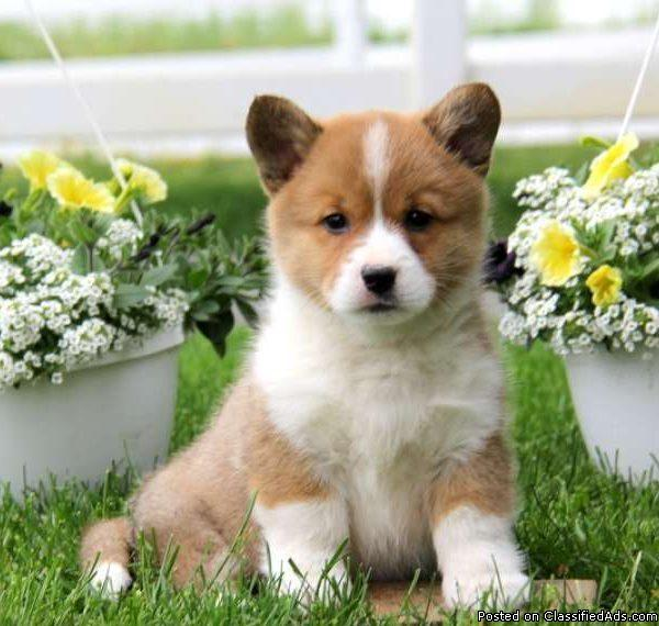 Potty Trained  Good Looking Pembroke Welsh Corgi Puppies