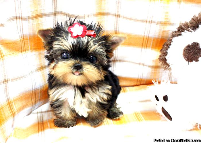 Male $ Female, Yorkshire Terrier Yorkie