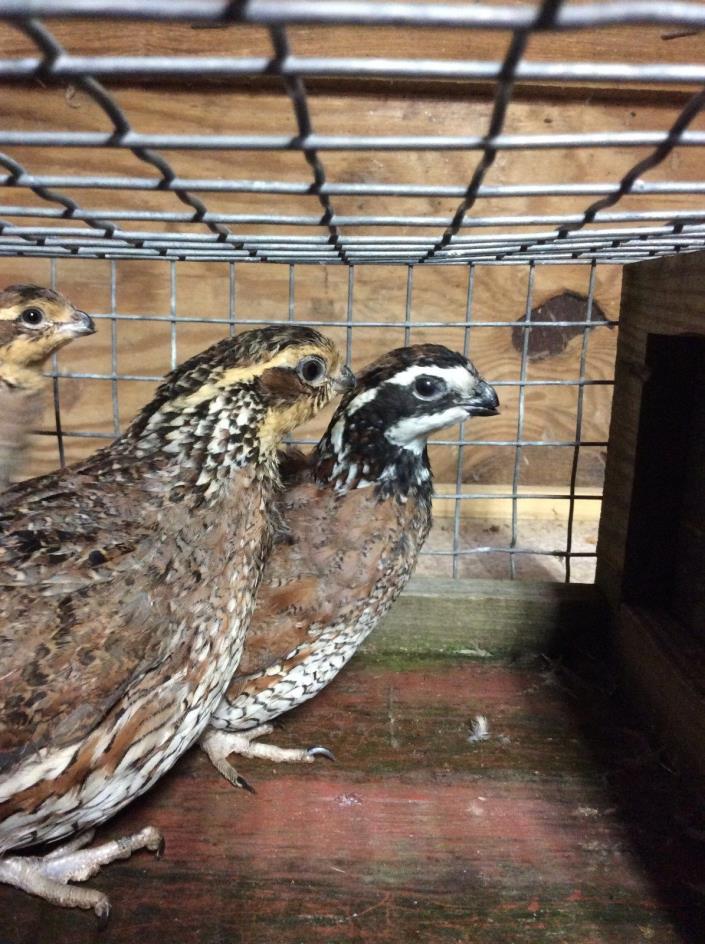 12 Bobwhite Quail Hatching Eggs