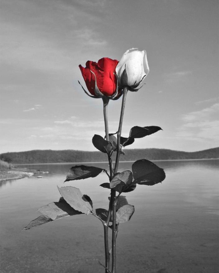 Black White Red Pictures, Rose Flowers, Lake, Red Gray Home Decor Matted Picture