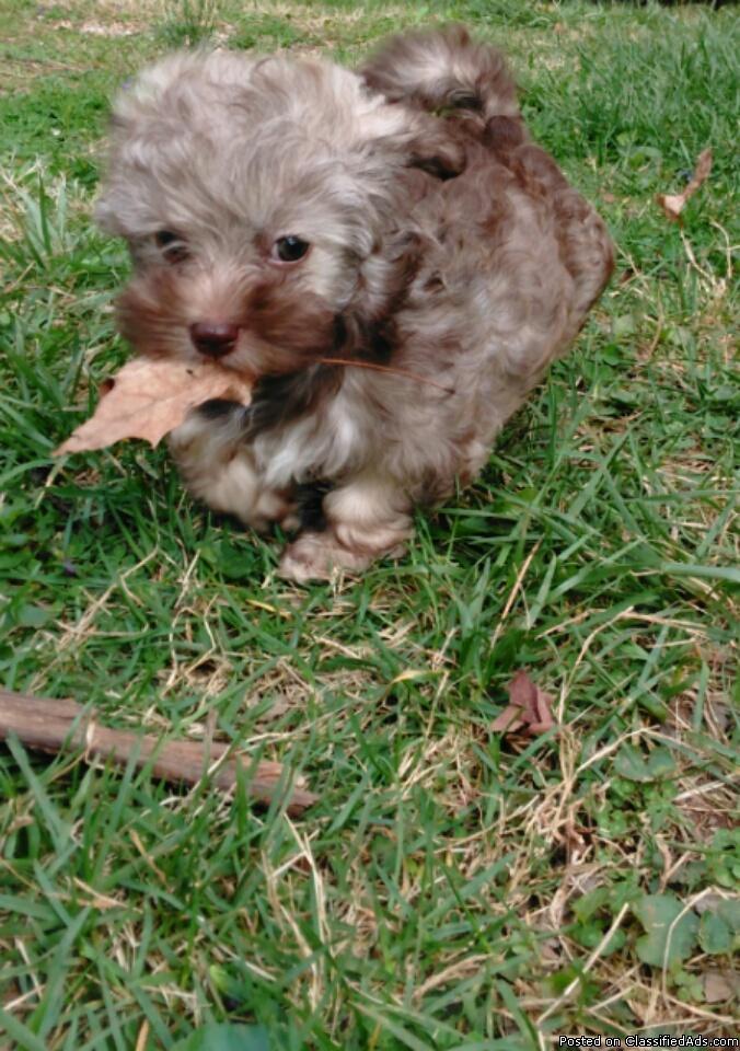 Female Havanese puppy