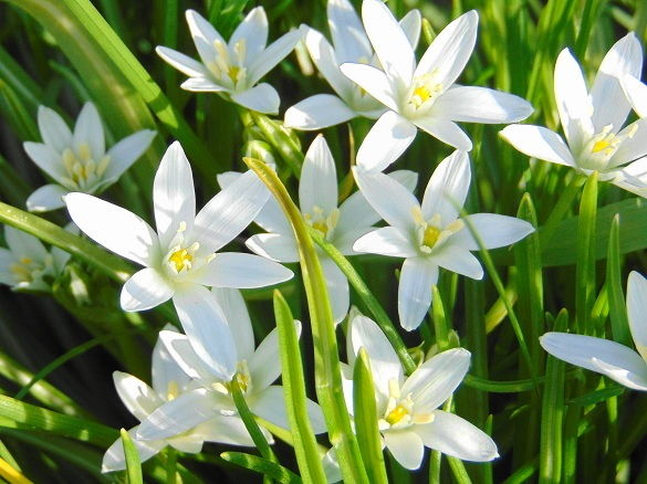 Star of Bethlehem Ornithogalum Umbellatum Spring Perennial Bulb - 4 Bulbs  SALE