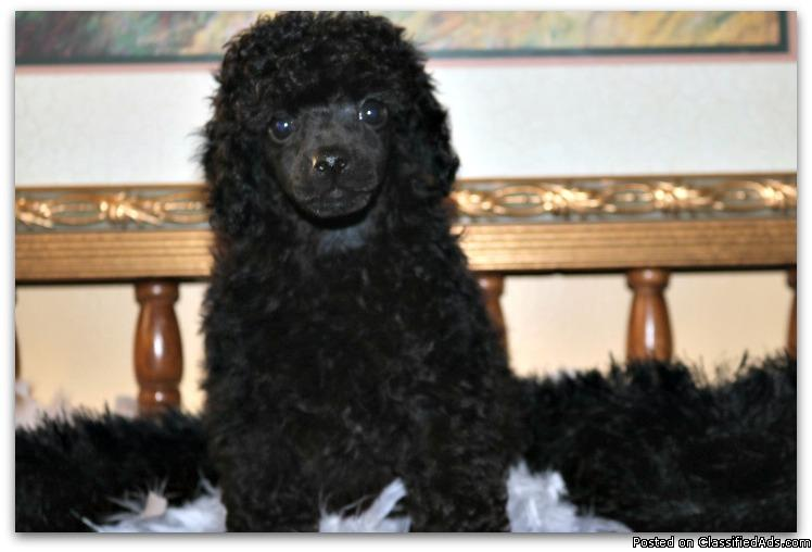 Black Toy Poodle