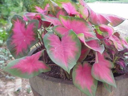 Caladium-Fancy Leaf - Beautiful White/Red/Green Leaves -12 Bulbs - Free Shipping