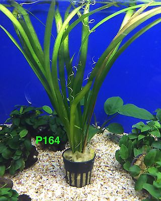 Live Fresh Water Aquatic Plant Vallisneria sp. Gigantea Potted P164