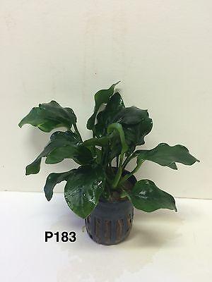 Live Anubias nana 'sp' Thick Leaf Potted Plant P183