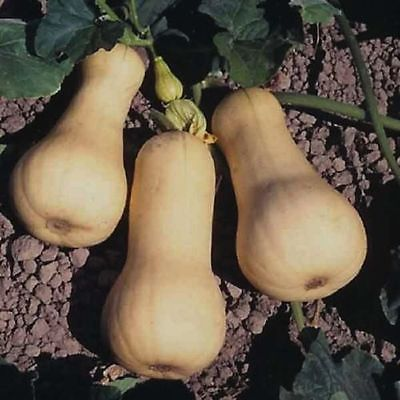 15 Butternut Squash Seeds