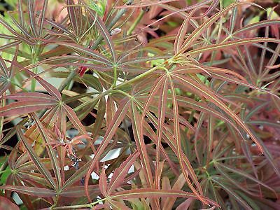 RED PYGMY Japanese Maple Rare