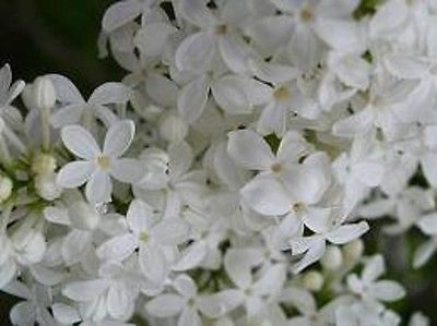 WHITE LILAC Root, Shrub, Bush, hardy fragrant live starter plant 12