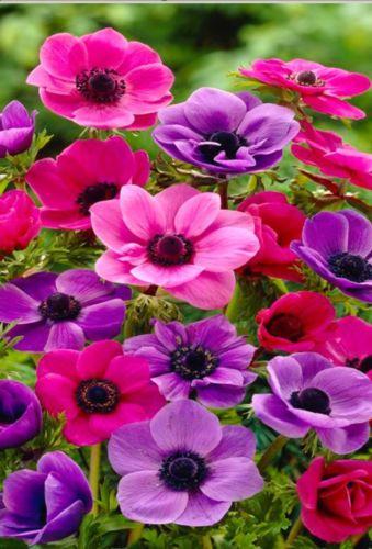 60 Anemone Coranaria Bulbs Gardening Flowers Perennial Borders