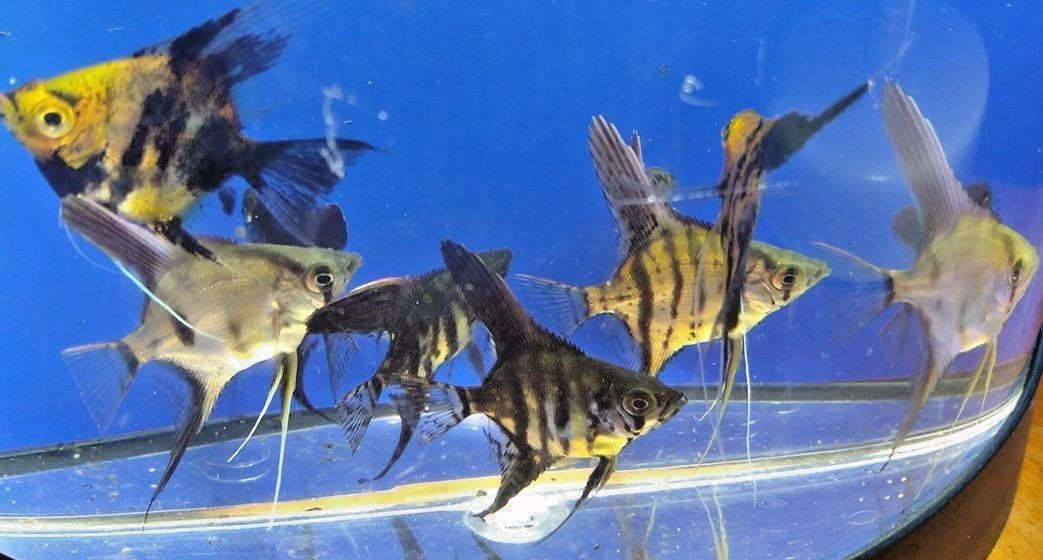 10 Assorted Angelfish - High Coverage Orange Koi, Black,Zebra, Clown,Smokey Blue
