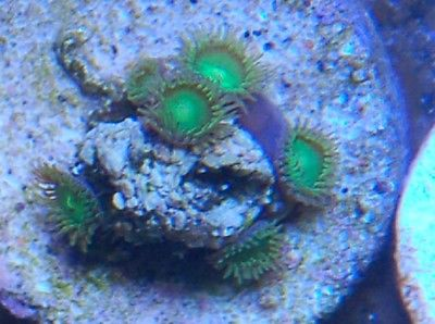 KJ'S RADIOACTIVE DRAGON EYES ZOANTHIDS FREE COMBINED SHIIPPING ZOAS KJ CORALS