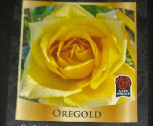 rose bush oregold flower roses yellow gold live plant shrub