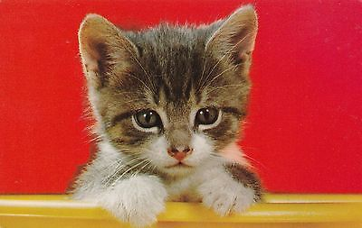 Vintage Postcard Adorable Kitten Peeking Out UNUSED Cats Chrome Card