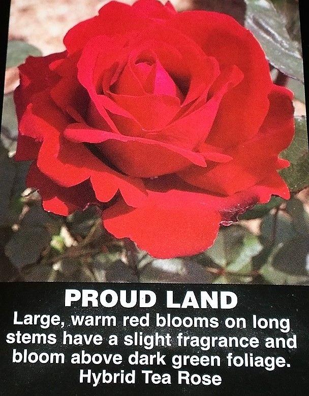 rose bush proud land red roses flowers shrub live plant