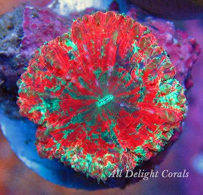 Rainbow Confetti Fathead Blasto WYSIWYG Live Coral ~ All Delight Corals