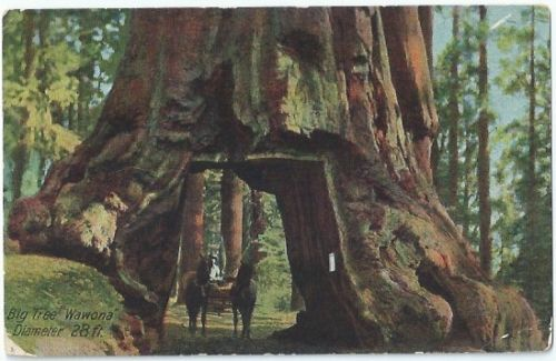 Redwoods Ca Big Tree Wawona Horse Drawn Wagon Antique Postcard California