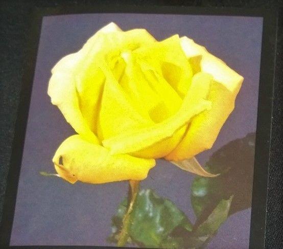 rose bush summer sunshine roses yellow climbing live plant
