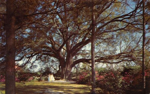 Valdosta Georgia~Mammoth Live Oak~1960 Postcard