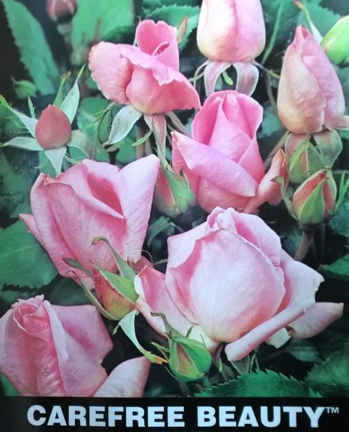rose bush carefree beauty shrub pink roses live plants gallon