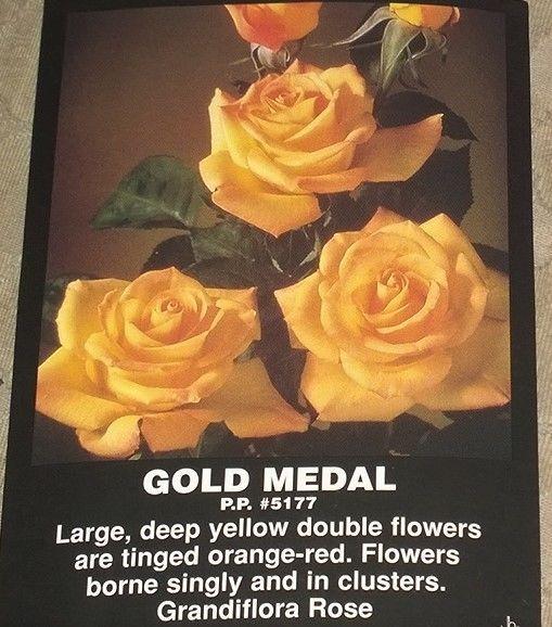 rose bush gold medal golden yellow orange red edges flowers roses live plant