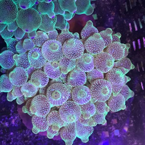 ULTRA BTA Live Bubble Tip Anemone WYSIWYG Live Coral Rose Anemone Bubbletip -G-