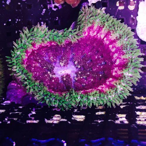 Mini Max Carpet Anemone ULTRA --  WYSIWYG live coral 2