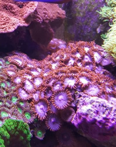 3x live coral frag red 10+polyps