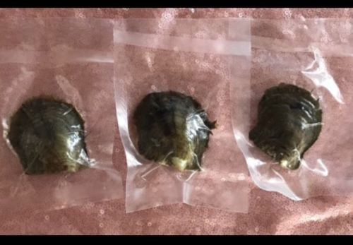 3 Akoya Oysters With Mystery Pearls Inside