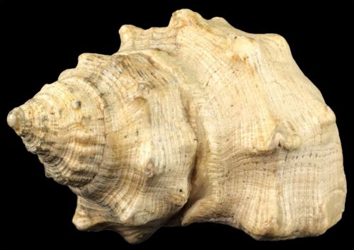 Vintage Natural Real Lobatus gigas Subadult Conch Shell Small 3 x 2