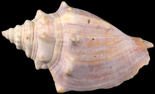 Vintage Natural Real Pink Conch Shell Small Subadult 3.5 x 2