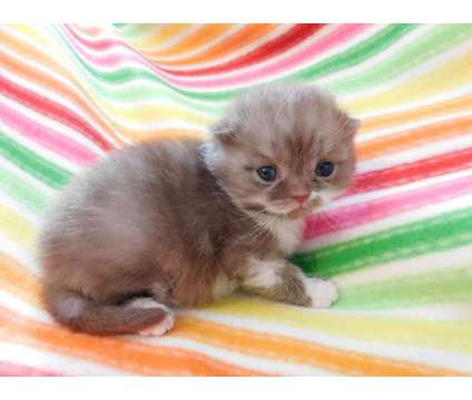 Scottish Fold Kittens - For Sale Classifieds