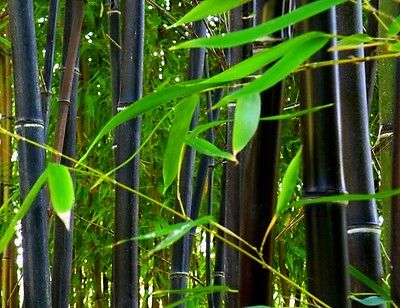 BLACK BAMBOO PLANT RHIZOMES Phyllostachys nigra (watch the videos included)